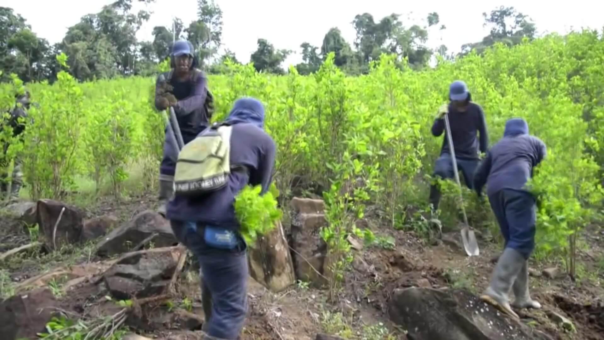 Cultivos de coca en Colombia bajaron 7 % en 2020: ONU