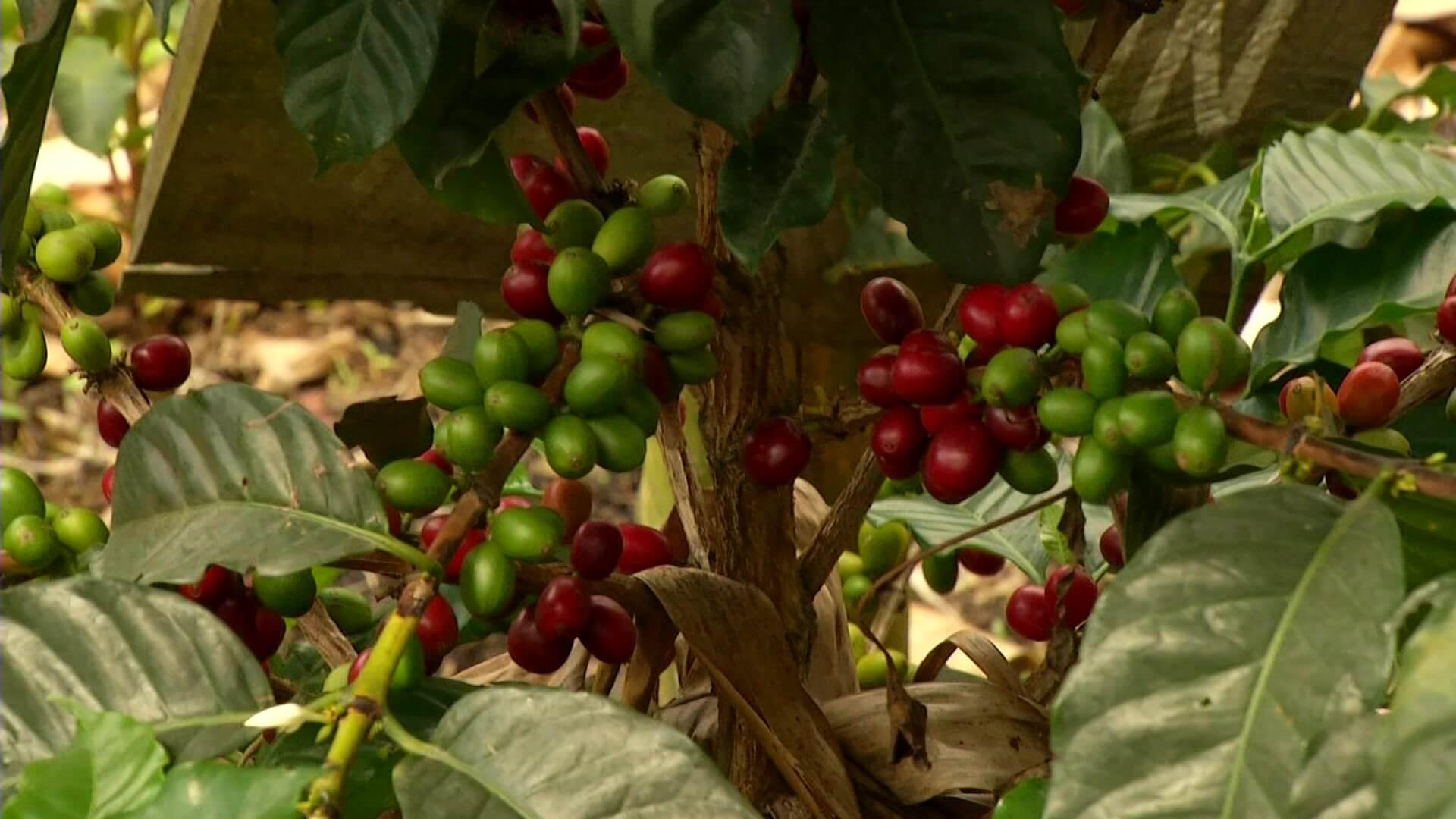 Disminuyen exportaciones de café en mayo