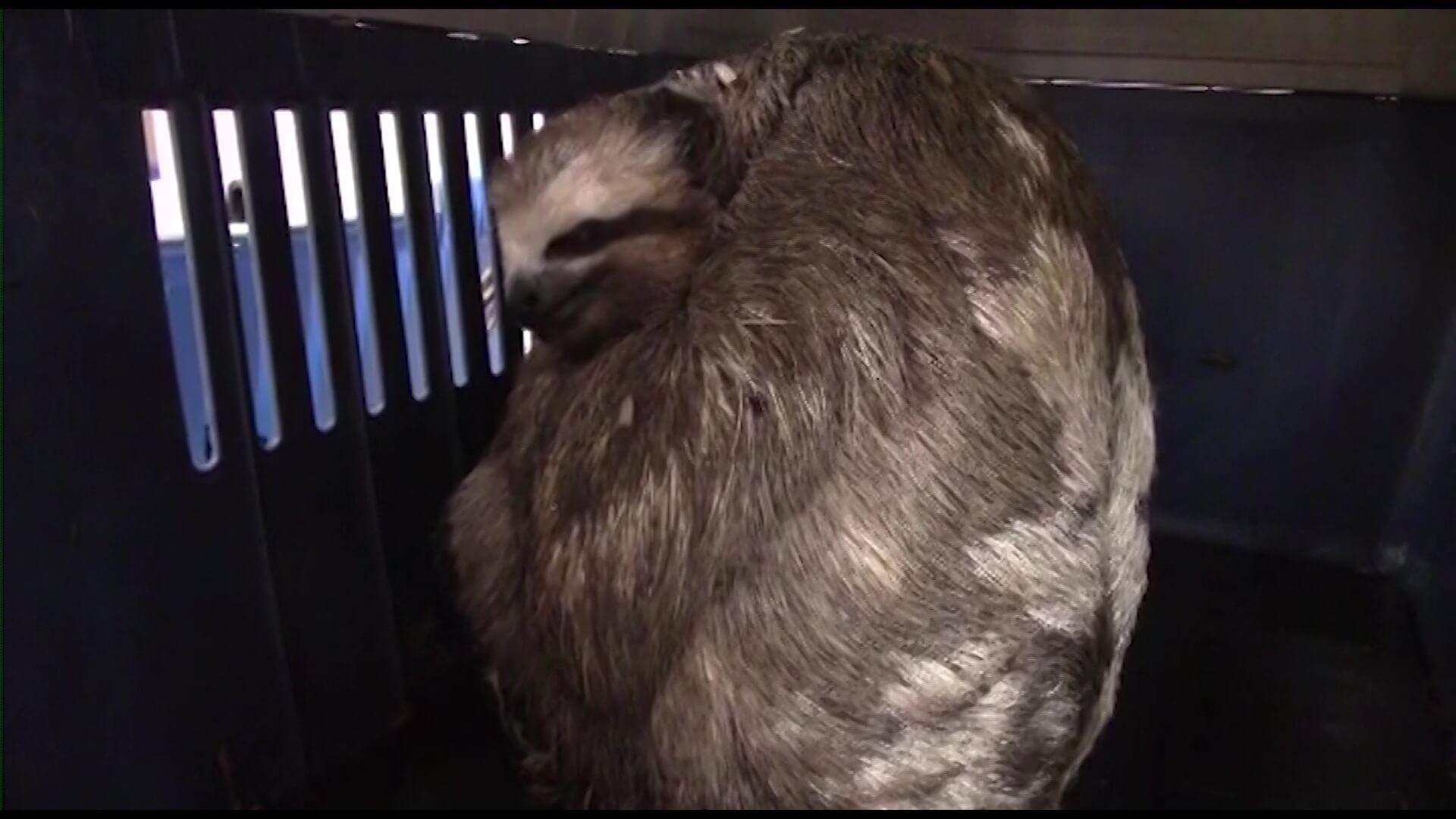 Bomberos rescatan a dos osos perezosos