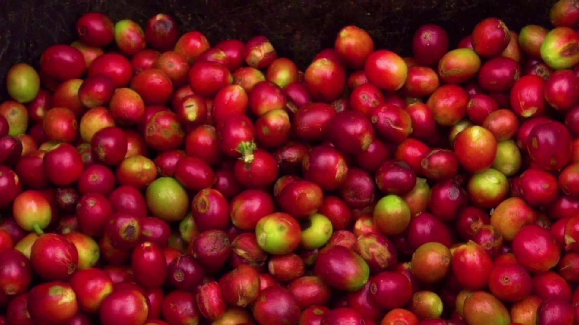 Precio del café alcanza nuevamente su cotización más alta