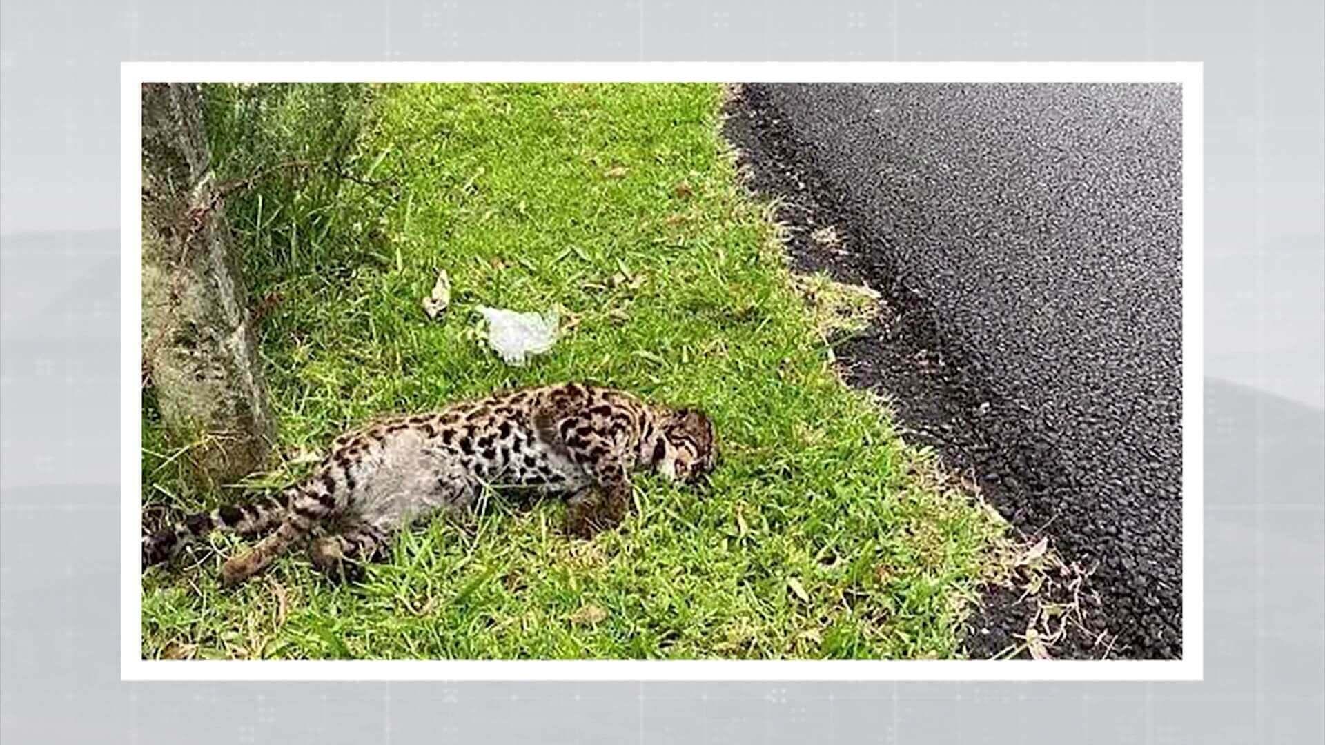 Hallado un tigrillo muerto en la vía Las Palmas